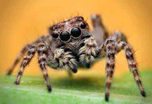 Spiders make fake mannequins