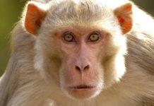 Monkeys trouble people